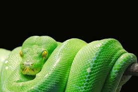 free stock photos of snake pexels
