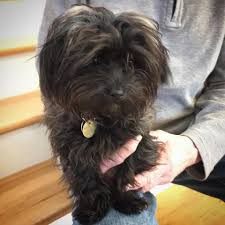 affenpinscher animal planet pup from parker to participate in puppy bowl on animal planet