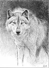 wolf charcoal sketch by wolveswhisperwords on deviantart
