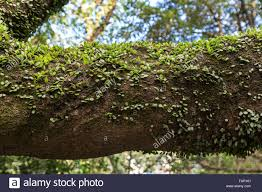 climber vine plant on a thick tree branch stock photo royalty