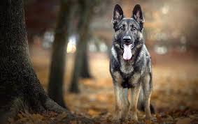 american eskimo dog vs keeshond german shepherd dog vs berger blanc suisse dog breed atlas
