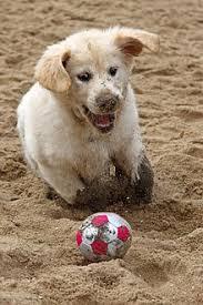 Comfort Retriever Puppies For Sale Golden Retriever Wikipedia