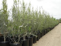 mid valley trees olea europaea bonita bonita ornamental