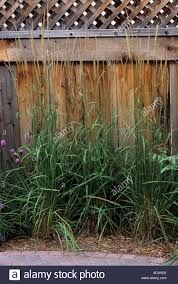 karl foerster feather reed grass and liatris against fence in
