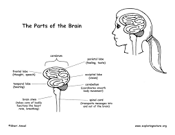 Parts Of The Brain Diagram And Coloring Page Brain Coloring Page