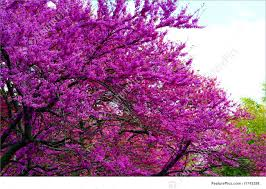 tree with purple flowers purple flowers in a tree stock picture i1743298 at featurepics