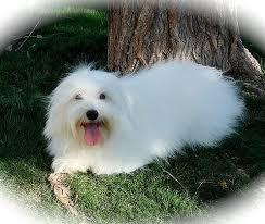 bedlington terrier seattle cathy u0027s coton cuties home of the heavenly coton de tulear