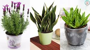 Plant For Bedroom Must Have These 4 Plants For Your Bedroom Will Cure Insomnia And
