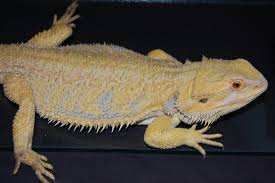 bearded dragon morphs sale spalding courier
