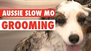 australian shepherd funny dog makeover australian shepherd gets her fur did youtube