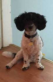 my cavachon hybrid u0027oreo u0027 likes his science diet dry food from