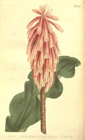 Sweet Flag Herb 63 Best Herbs Images On Pinterest Botanical Drawings Botanical