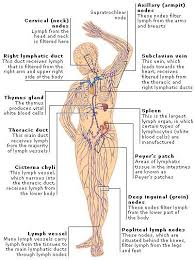 Right Side Human Anatomy 498 Best Human Body Images On Pinterest Life Science Science