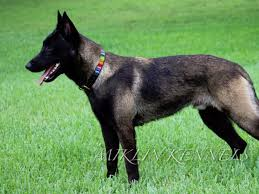 belgian shepherd kennels micheal ferguson belgian malinois puppies for sale