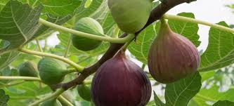pruning a fig tree 3 tips doityourself