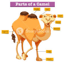 diagram showing parts of camel illustration royalty free stock