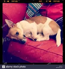 Jack Russell Dog Lying On Sofa In Modern Spanish Villa Living Room - Lying sofa 2