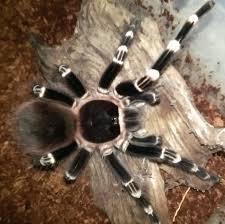 acanthoscurria geniculata white knee rozzer s tarantulas