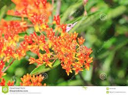 pentas flower bee on orange pentas flower stock photo image 63753590