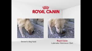 royal canin labrador retriever diet dog food u2013 new zealand youtube