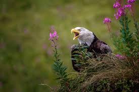 Alaska Wildlife images Alaska wildlife photography jeff schultz jpg