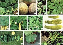 Squash Plant Diseases Pictures - virus diseases of cucurbits fact sheet