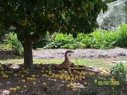 Backyard Orchard Design Prior Fox Landscapes Wagga Wagga - Backyard orchard design