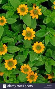 sanvitalia procumbens cultivar irish eyes profuse profusion flower