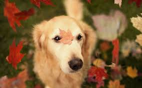 Wallpaper Dogs Dog With Autumn Leaves New Wallpaper 4889 Wallpaper Themes
