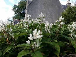 non native invasive plants what gunnera where u2013 north harris trust