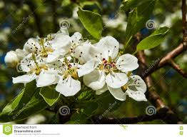 Tree With Little White Flowers - small white flowers on a tree in the spring stock photo image