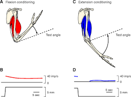 muscle receptors anatomy review human anatomy body