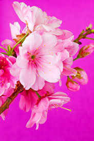 cherry blossom flowers cherry blossom flower photograph by barnaby chambers