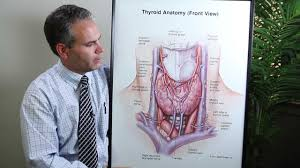 Human Anatomy Thyroid Anatomy Of Thyroid Surgery Thyroid Institute Of Utah Dr