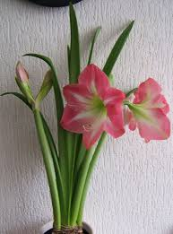 amaryllis flowers amaryllis flowers bulbs care