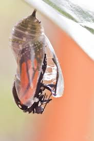 monarch cocoon to butterfly transformation zielinski photography
