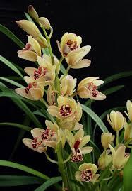 cymbidium orchid cymbidium care
