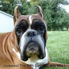 boxer dog european european boxers for stud liverpool the fifth element at kennel