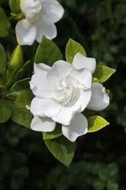 gardenia flower pruning gardenias tips for when and how to prune a gardenia