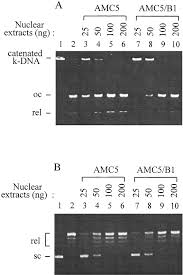 down regulation of dna topoisomerase iiα in human colorectal