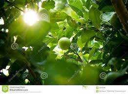 lime fruit lime green tree with light stock photo image 58282283