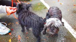 affenpinscher vs brussels griffon cute affenpinscher dogs youtube