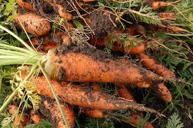 free photo carrot vegetable garden plant free image on