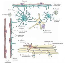 anatomy of oligodendrocytes articles physiological reviews human