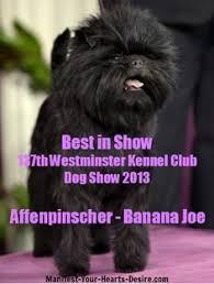 affenpinscher at westminster affenpinscher wins best in show at westminster dog show dog