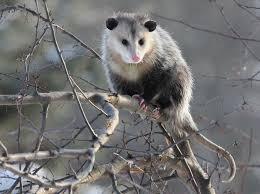 Possum In My Backyard How To Deal With Problem Opossum In Pennsylvania Wildlifehelp Org
