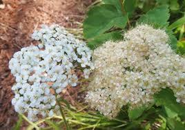 montana native plants flora montana western yarrow