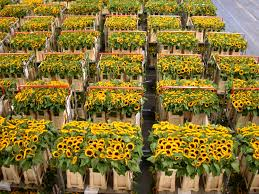 sunflowers for sale images stewart