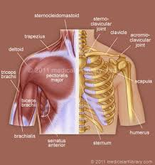 Human Shoulder Diagram Human Anatomy Anatomy Of Shoulder It Makes Us To Love Our Body