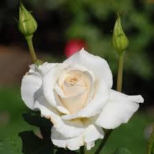 white roses for sale buy roses online cheap hybrid tea climbing roses for sale